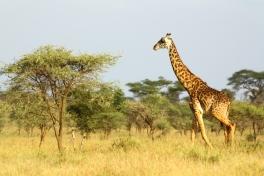 30-serengeti