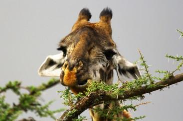31-serengeti