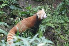 33-reserve-panda-chengdu