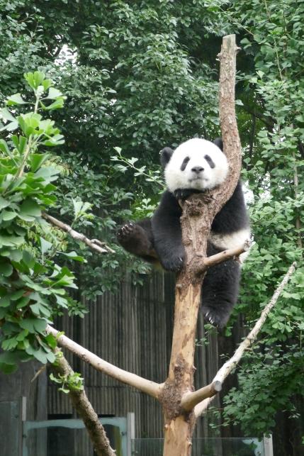 35-reserve-panda-chengdu