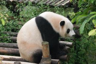 36-reserve-panda-chengdu