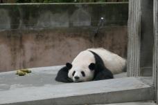 37-reserve-panda-chengdu