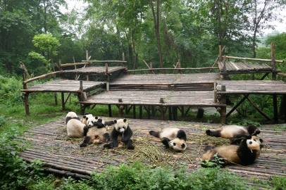 39-reserve-panda-chengdu