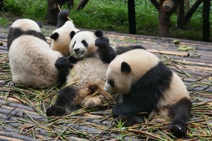 40-reserve-panda-chengdu